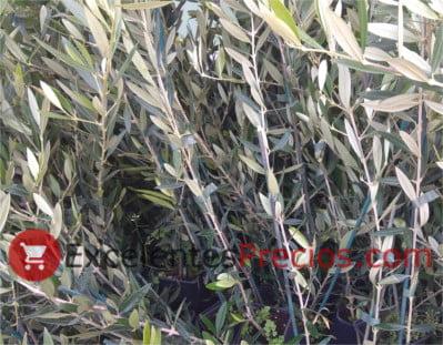 Dónde plantar olivos, plantones de olivo