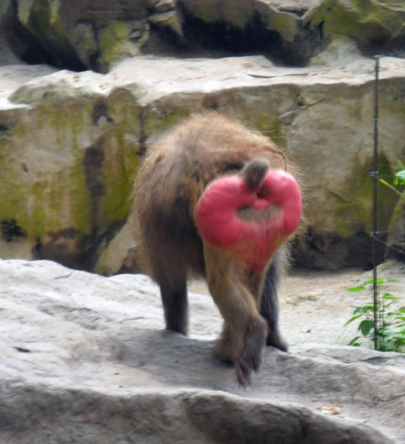 Quantum Physics - Page 35 2-baboon-red-arse-singapore-zoo