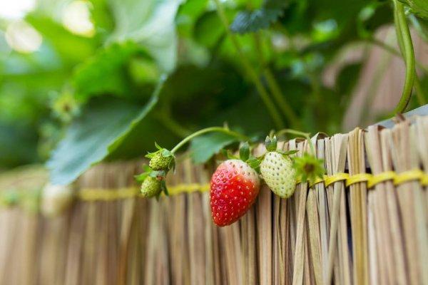 depositphotos-170686918-stock-photo-ripe-and-unripe-strawberries