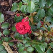 roze22