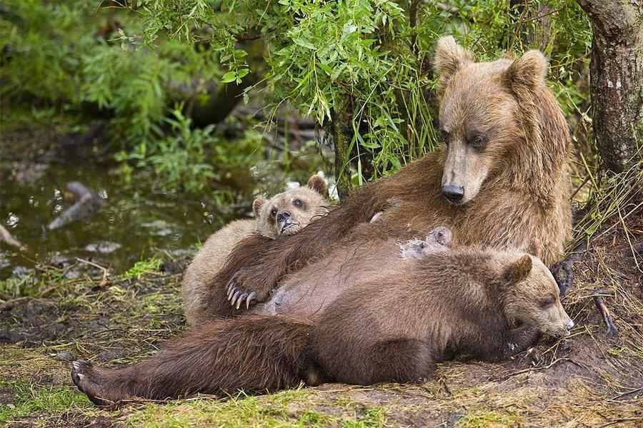 Невероятные фотографии медведей 21