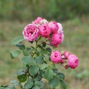 roze34