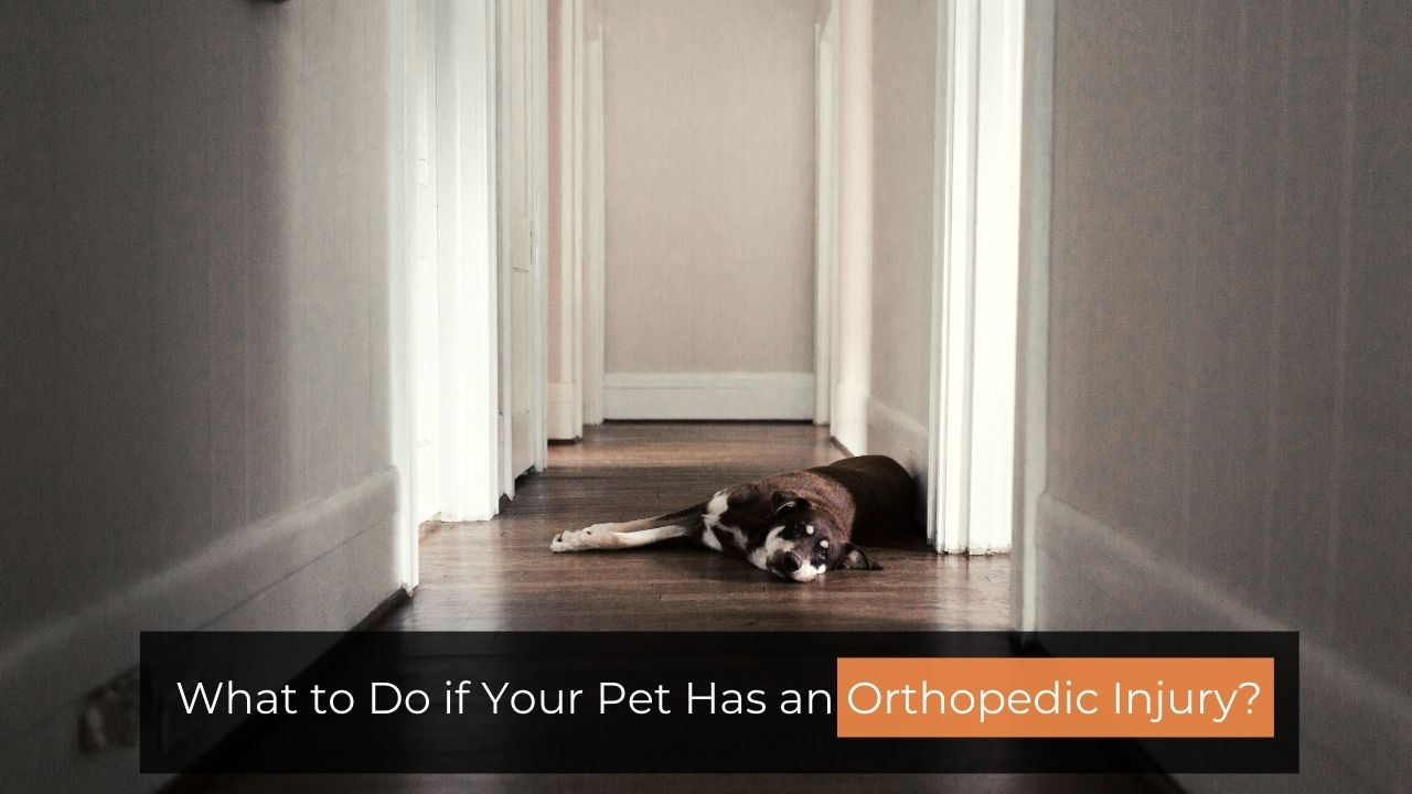 What to Do if Your Pet Has an Orthopedic Injury?