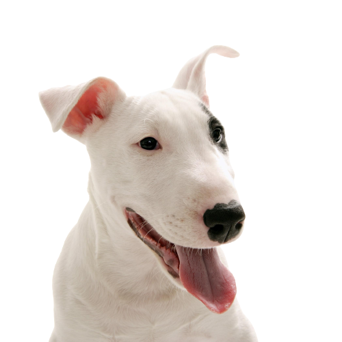 img-noms-pour-chiens-bull-terrier-30-orig-removebg-preview.png