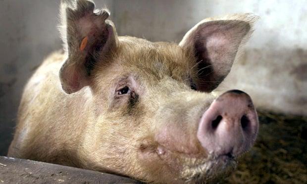 لقاحا كورونا ومشتقات الخنازير وسر الخوف من اللقاح الصيني !