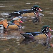 -Mandarin Duck M31s