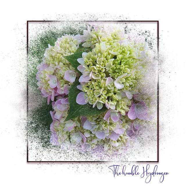 The-Humble-Hydrangea-02