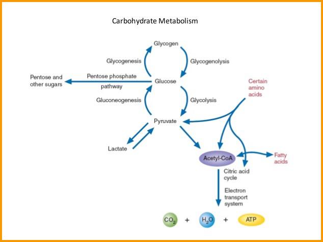 drehab-carbohydrate-metabolism.jpg