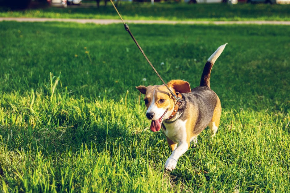 11 Essential Dog Walking Tips for New Dog Owners