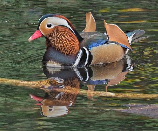 -Mandarin Duck M29s