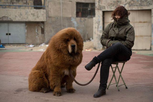 Тибетский мастиф - лохматый и очаровательный великан (16 фото)
