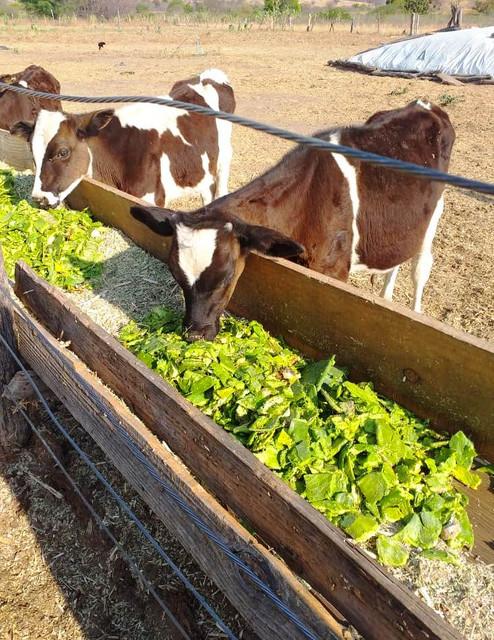 Benefícios da palma forrageira na alimentação bovina - SENAR MINAS