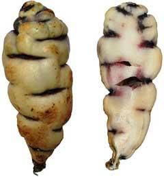 Tropaeolum-Tuberosum2