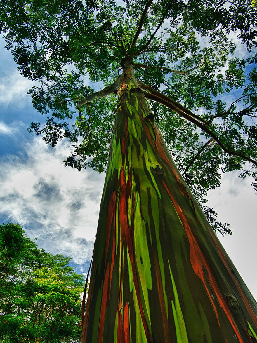 Радужные эвкалипты в Кауаи, Гавайи-19-1