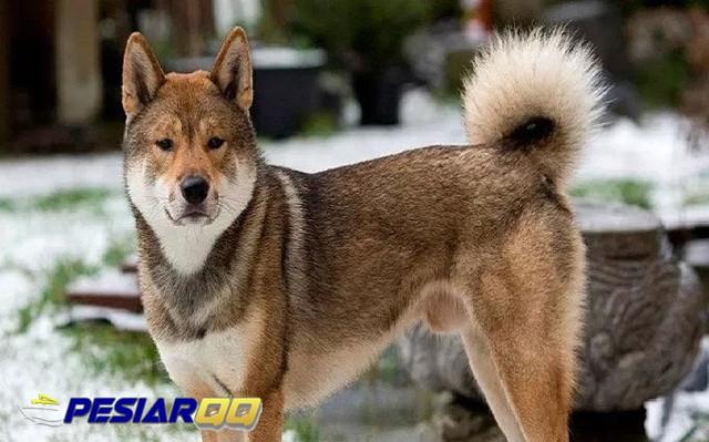 5 Jenis Anjing Asal Jepang, Menggemaskan dan Mahir Berburu
