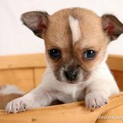 Chihuahua-Puppy-4
