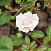 roze6