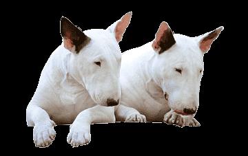png-transparent-miniature-bull-terrier-bull-and-terrier-old-english-terrier-bulldog-bull-terrier-car.png