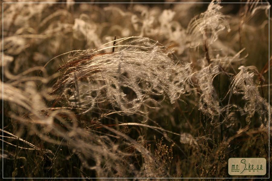 Ковила дніпровська у променях вечірнього сонця. Чорноморський біосферний заповідник, Івано-Рибальчанська ділянка