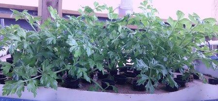 pic 1 celery