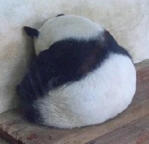 IMAGE(https://i.ibb.co/JCTjRPS/panda.jpg)