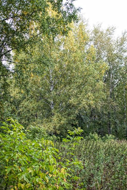 sept begin trees.jpg