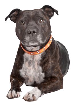 kisspng-staffordshire-bull-terrier-american-staffordshire-5afc3176e16115-8865735015264771749232-remo.png
