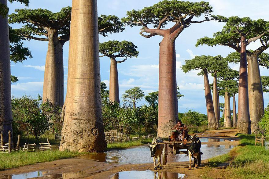 Баобабы на Мадагаскаре-11