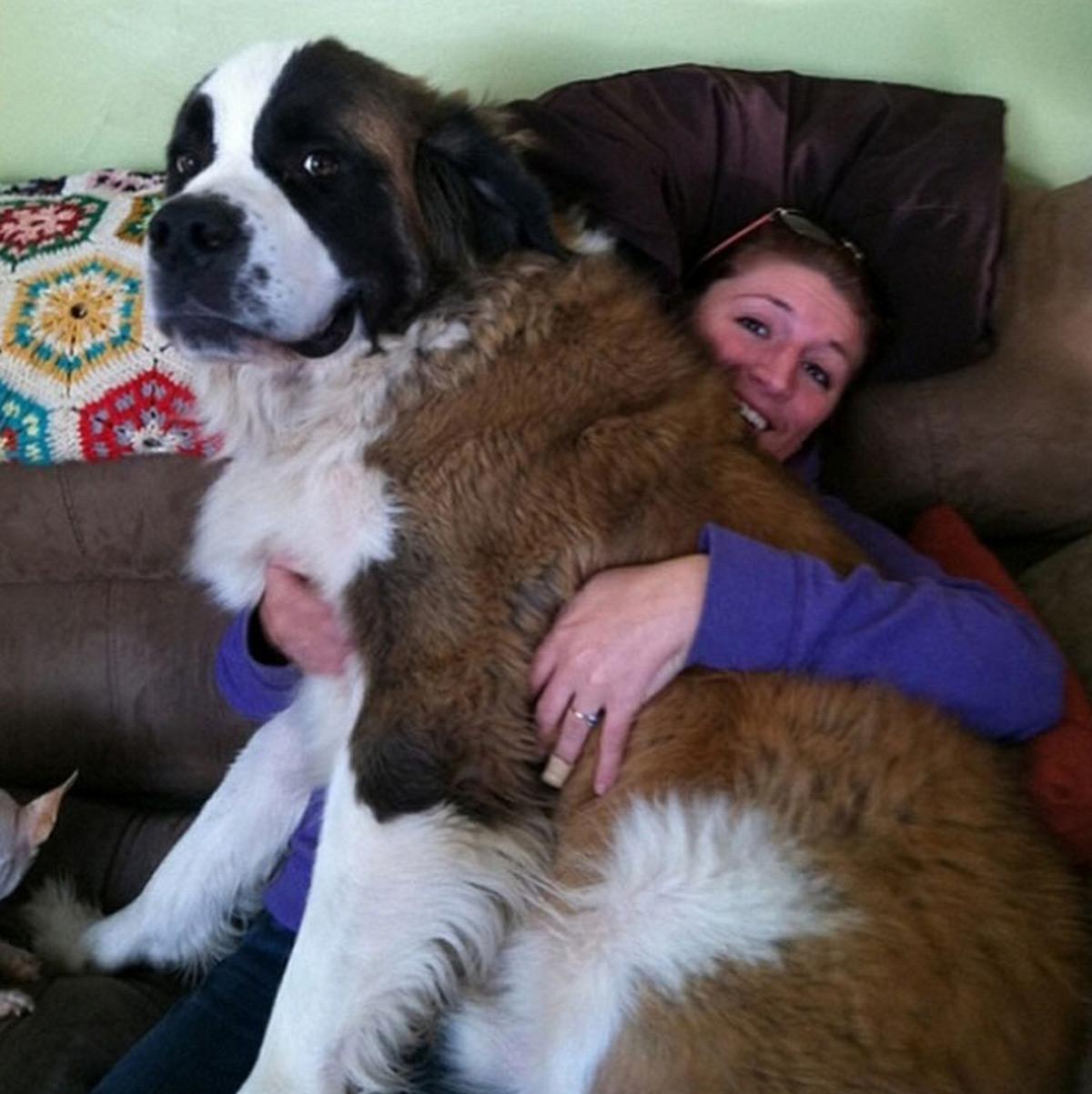 Большие-пребольшие собаки, которые думают, что они маленькие - 40 фото
