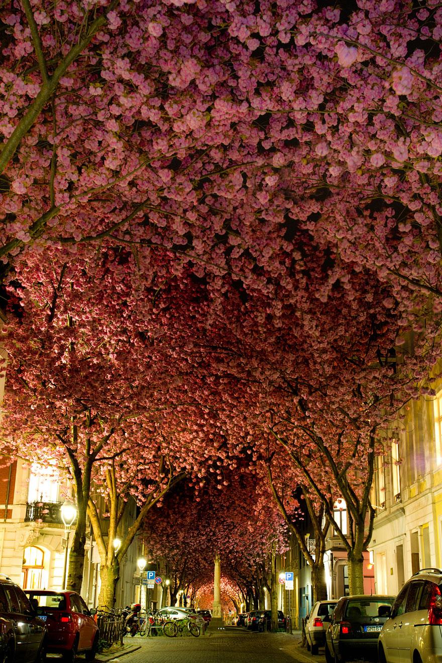Цветущая вишнёвая аллея в Бонне, Германия-2