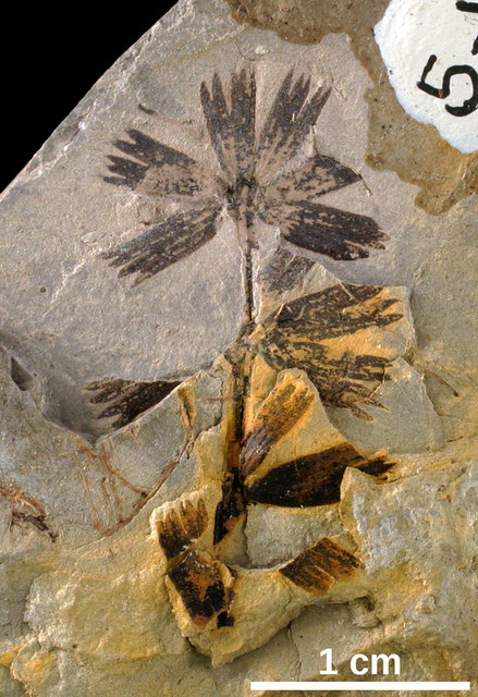 [Image: Sphenophyllum-00000263.jpg]