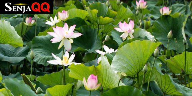8 Manfaat Bunga Teratai yang Belum Banyak Diketahui