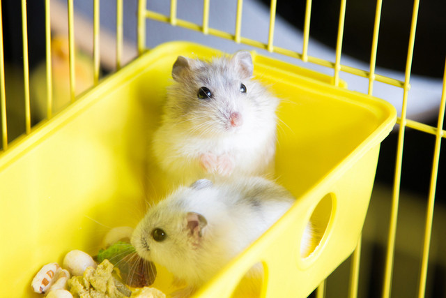 6 Tips Membersihkan Kandang Hamster