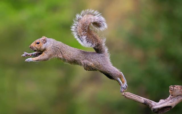 how-far-can-a-squirrel-jump