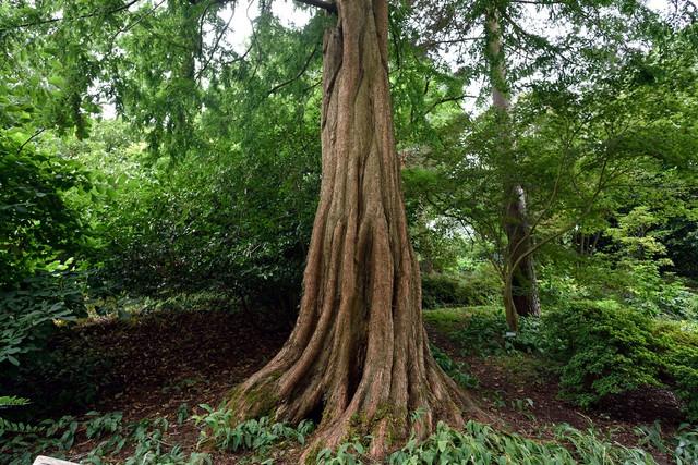 Bild-11-Metasequoia-glyptostroboides-DSC-5634