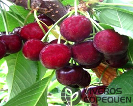 cerezo Sentennial , variedad de cereza Sentennial, cereza tardía, SPC 103, 13S-21-23, 23 166 csp