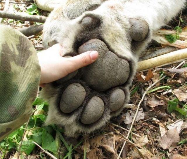 Лапа амурского тигра