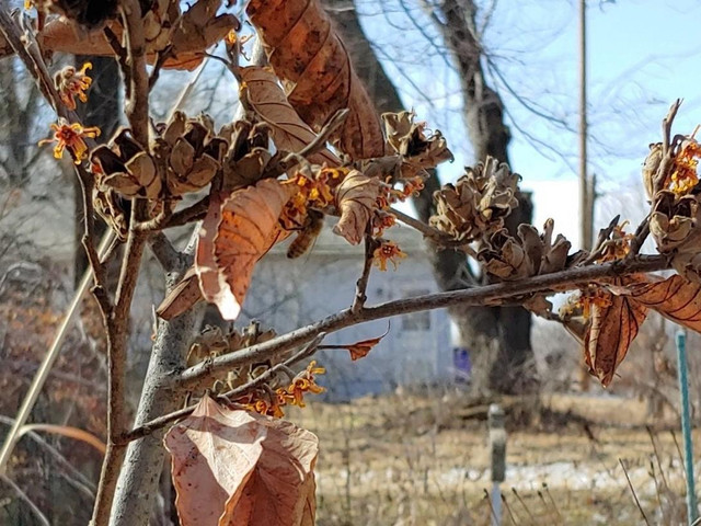 2-16-20-witchhazel-pollen-collecting