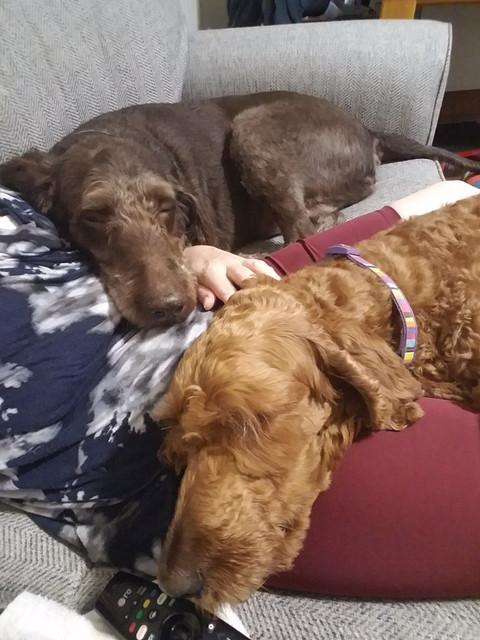 https://i.ibb.co/Kjrxvyy/Comfort-Dogs.jpg