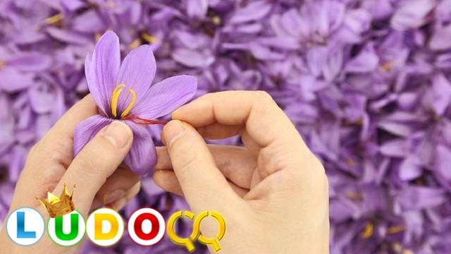 Saffron Rempah Bermanfaat sebagai Pembangkit Gairah Seksual