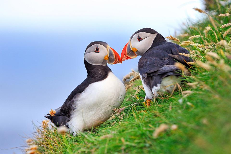 atlantic-puffin-couple