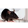 https://i.ibb.co/KswHcMz/rat-mouse3.png