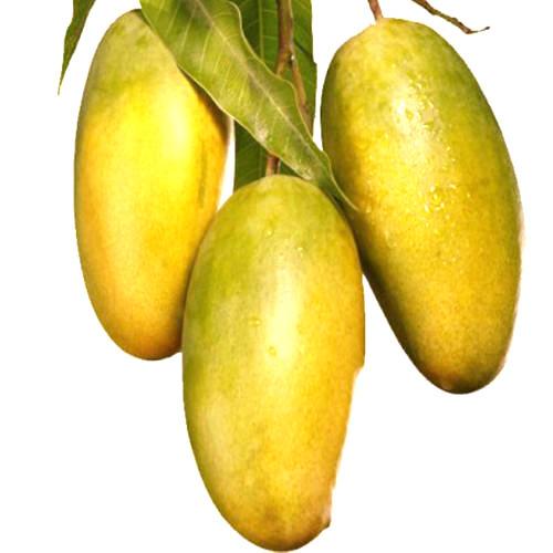 [Image: mango-dasheri-500x500.jpg]