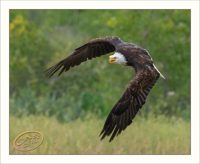 bald-eagle-1500-CAS05249
