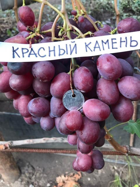 1572575592-vinograd-krasnyj-kamen