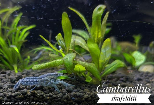 Cambarellus shufeldtii