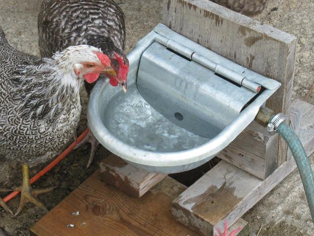 Trinker für Hühner