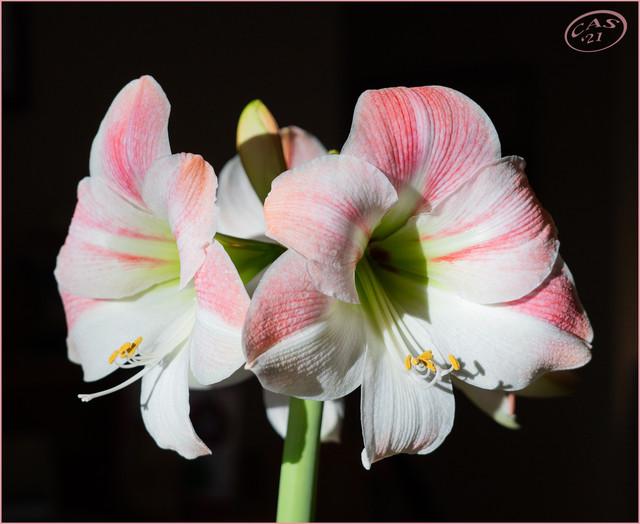 amaryllis-CAS06311.jpg