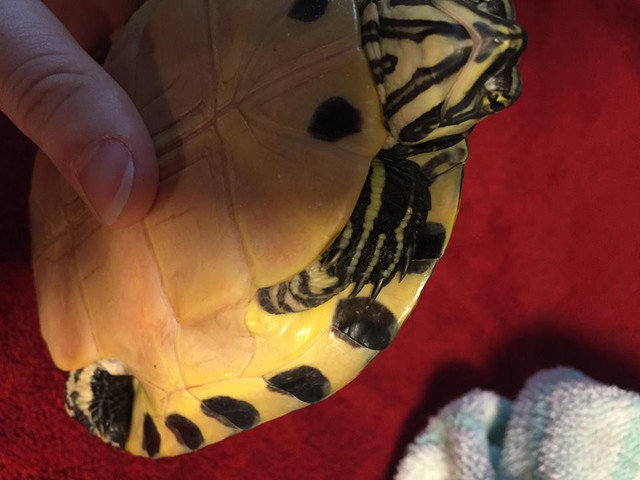 Sexage tortue de Floride Tttt