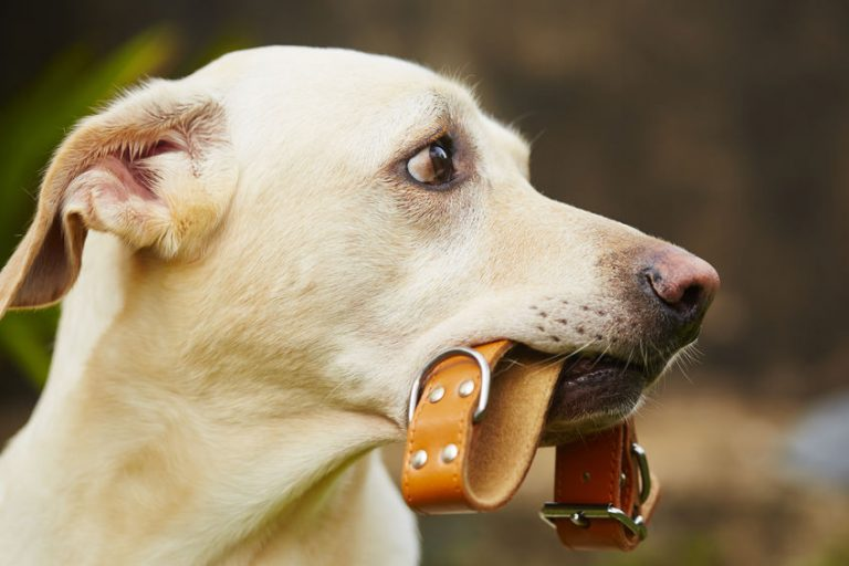 Dog Collar: Which is the Best of 2021?